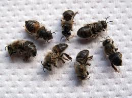 moria di api da agronotizie